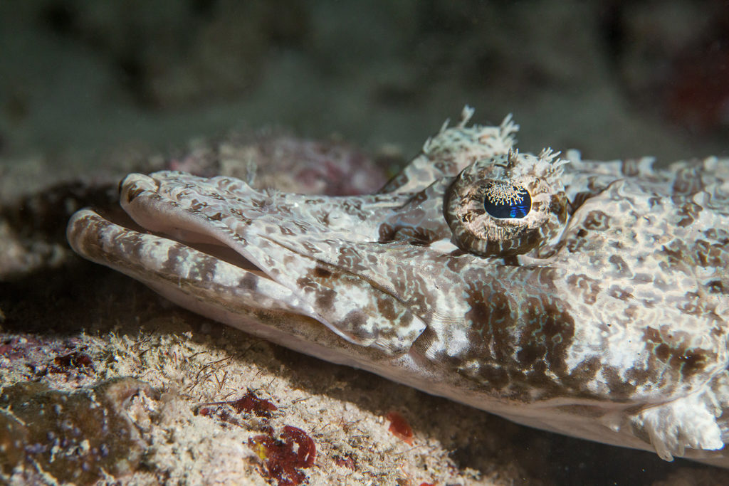Crocodilefish close-up. Sipadan island. Celebes sea. Malaysia.