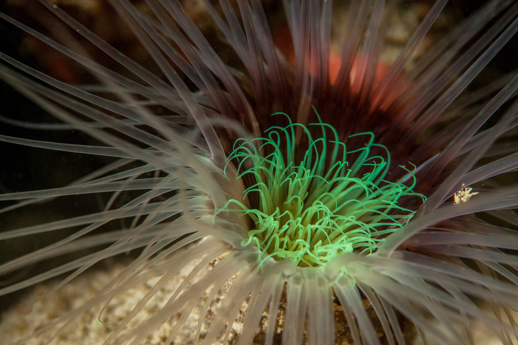 Actinia close-up. Sipadan island. Celebes sea. Malaysia.