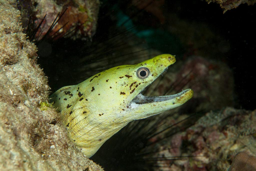 Yellow moray. Sipadan island. Celebes sea. Malaysia.