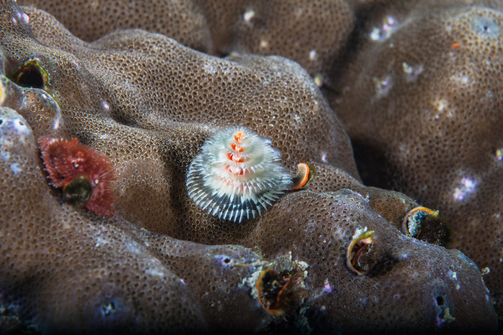 Underwater worm close-up. Sipadan island. Celebes sea. Malaysia.
