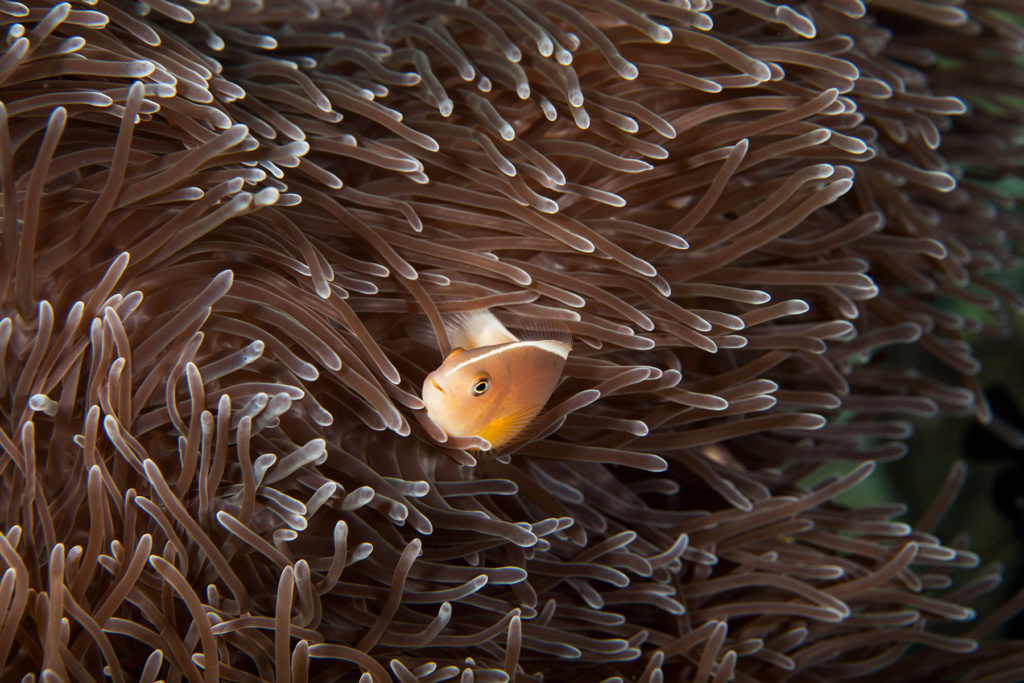 Clownfish close-up. Similan islands. Andaman sea. Thailand.