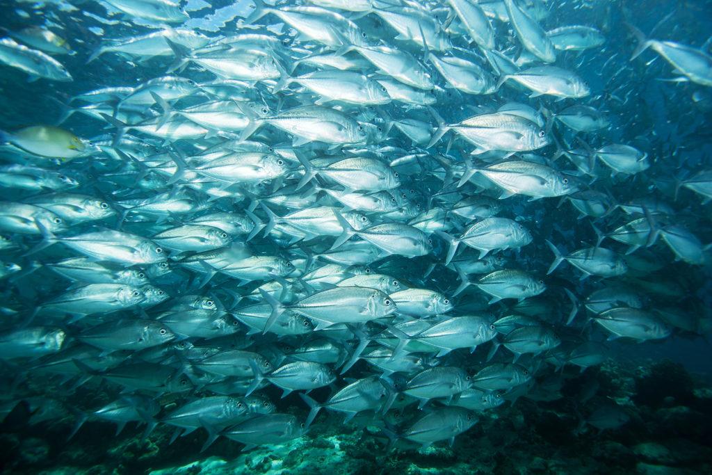 Jack fish. Sipadan island. Celebes sea. Malaysia.