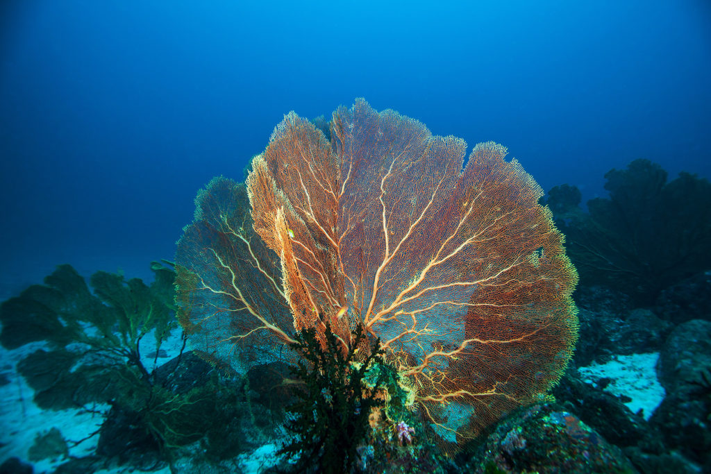 Gorgonian. Similan islands. Andaman sea. Thailand.